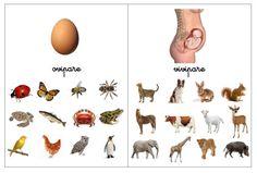 Voici une activité de tri des animaux selon leur mode de reproduction.   Pour illustrer la catégorie des animaux vivipares j'ai choisi l'ill...