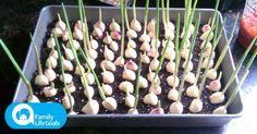 Stop Buying Garlic. Here's How To Grow An Endless Supply Of Garlic Right At Home - Healthy - Modern Design Container Gardening Vegetables, Vegetable Garden, Growing Plants, Growing Vegetables, Organic Vegetables, Organic Gardening, Gardening Tips, Gemüseanbau In Kübeln, Potager Bio