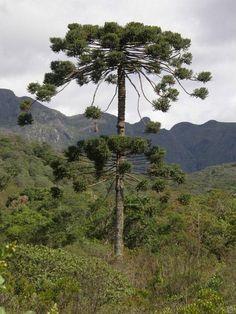 Parana pine - Araucária