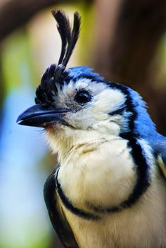 See on to the next......dont look at me i don't have nothing to do with it......White Throated Magpie Jay