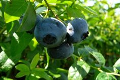 Blueberry, Fruit, Blueberries, The Fruit
