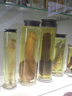 Penis display at Anatomy Museum.