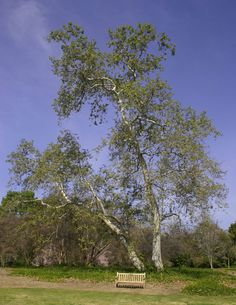I planted a one gallon California Sycamore adjacent to my leach field.  It is now about 10 feet high.  I rarely water after the first year unless something else is newly planted near it.