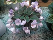 ❀ African Violet Saintpaulia MINI Rob's Pewter Bells Rooted Leaf ❀