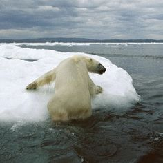 Help Protect Polar Bears From Climate Change!