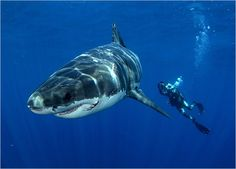 """As recently as 20 years ago, it was considered suicide to dive openly with great whites. Shark expert and photographer Chris Fallows has spent decades studying these creatures and trusts that his knowledge of their behavior will keep him safe. """"We now know we can get close to them in their environment without them posing a huge threat to us,"""" says Chris."""