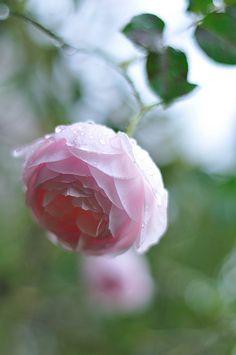 イングリッシュローズ ヘリテージ      in my garden    English Rose (Ausblush) & Exotic Flowers, Love Flowers, Purple Flowers, Heritage Rose, David Austin Roses, Hybrid Tea Roses, Peonies Garden, Love Rose, Rose Cottage