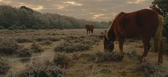 New Forest Ponies -