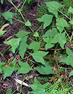 Edible weeds   Acetosa sagittata - Turkey Rhubarb
