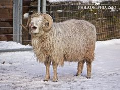 """The Navajo-churro sheep that lives in KidZooU is named Nakai. That means """"one who wonders"""" in the Navajo language. This moment was captured by Camera Club member Stan Horowitz."""