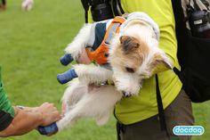 アウトドアドッグフェスで試着! #ジャックラッセルテリア #犬の靴下 #犬の靴 #ブルー #dogsoks #dogboots #docdog #SPORTPAWKS #スポーツパウクス #RCPetProducts #アールシーペットプロダクツ