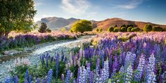 Lupins at Tekapo. This photograph by British photographer Richard Bloom has won the International Garden Photographer of the Year award. Photo / Richard Bloom