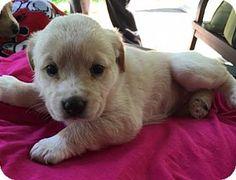 Barnhart, MO - Labrador Retriever Mix. Meet Amber, a puppy for adoption. http://www.adoptapet.com/pet/15611556-barnhart-missouri-labrador-retriever-mix
