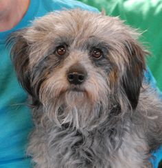 We love Fern's insightful eyes and mellow temperament. She pleads for love and we are so happy to help her find a forever home where she will be valued and appreciated. Fern is a beautiful Lhasa Apso mix, about 5 years of age, a spayed girl, good with other dogs, and debuting for adoption at Nevada SPCA (www.nevadaspca.org). We rescued Fern from another shelter that was running out of space. Please ask for her specifically by name when you visit.