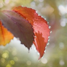 Amazing macro shot of autumn leaves with rain droplets.     Edited to add: Photographer is Georgianna Lane: http://www.flickr.com/photos/georgiannalane/