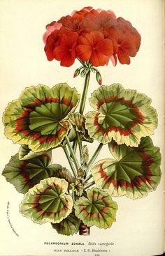 Pelargonium zonale ( commonly known as geranium) taken from Flore des serres et des jardins de l'Europe (1862-1865). Louis van Houtte (1810–1876).