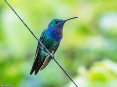 Sapphire-throated Hummingbird (Lepidopyga coeruleogularis) by Nick_Athanas.