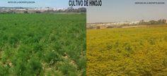 Hinojo con 100% bioferilizante, y es q a las bacterias no se le resiste ningún cultivo.