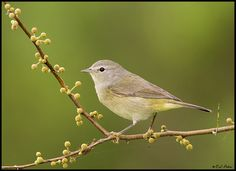 Orange Crowned Warbler.  Unlike other warblers, does not migrate out of Texas during the winter.