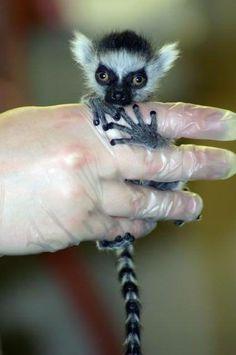 Ring tailed lemur baby sale - photo#7
