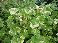 SNOWY NUTMEG SCENTED GERANIUM Spicy nutmeg scent. Variegated green and white rounded frilly leaves. Nice rounded and compact growth habit makes this an attractive plant for hanging baskets and containers. Sprays of delicate white flowers when in bloom. Perennial zones 10-11+