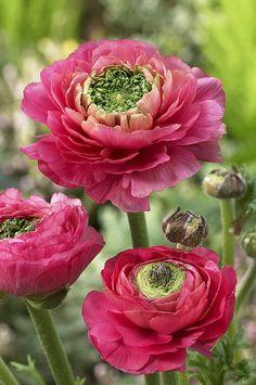 Buttercup Ranunculus ~ Sp Mirabelle Vert
