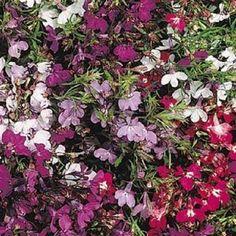 17 Best Lobelia Seeds Images In 2016 Flower Seeds 50th Garden Beds