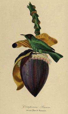 Banana Musa