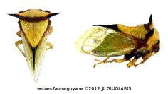 Membracidae Gen sp24