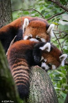 Baby Chinese Red Panda - Yahoo Search Results Yahoo Image Search Results