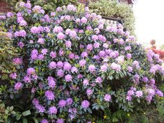 Rodedendron lyla