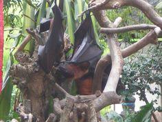 pipistrello (bat)