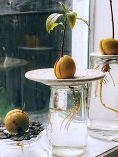Wat is de beste manier? - One Hand in my Pocket Water Plants, Water Garden, Garden Plants, Indoor Plants, House Plants, Avocado Plant, Avocado Seed, Growing Cherry Trees, All About Plants