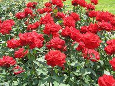 Sfaturi Utile: Beneficiile trandafirilor