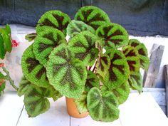 Plantas ornamentais Begonia Masoniana - Pesquisa Google