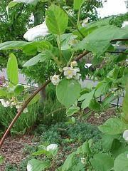 Actinidia kolomikta - Plant Finder