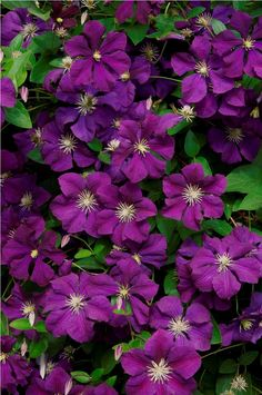 Clematis is the queen of climbing plants!What is truly great about these climbers is that they are very easy to grow if you follow few simple steps. #clematis