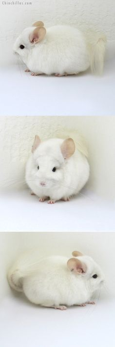 What Human Food Can Chinchillas Eat