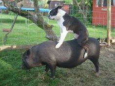 Boston terrier riding a pig.