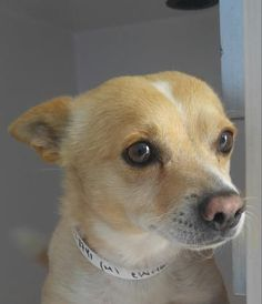 Animal ID 35528741 Species Dog Breed Chihuahua, Short Coat/Mix Age 5 years 2 days Gender Male Size Small Color Tan/White Site Department of Animal Services, City of El Paso Location Sally Port Intake Date 6/2/2017