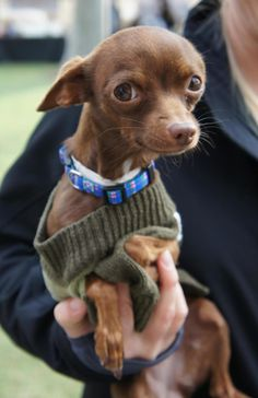 Trinket is a 4 yr old female chocolate colored chihuahua.  This long-legged tiny  (4.5 lb) beauty.