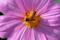 A honeybee rests on a dahlia blooming in a garden of New Delhi on March 3, 2009. (Manan Vatsyayana/AFP/Getty Images)