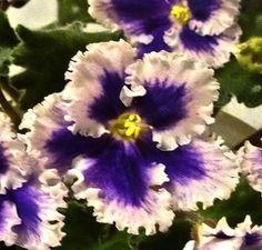 African Violet *MIDNIGHT RADIATION* starter plant – Standard