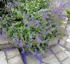 When I posted a picture of Parahebe perfoliata last December and lamented that its label said zone 9 Lisa commented urging me to try it out,. Dry Garden, Gravel Garden, Rain Garden, Garden Plants, Modern Landscape Design, Modern Landscaping, Front Yard Landscaping, Portland Garden, Evergreen Shrubs