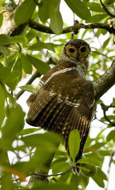 Spotted Owl wood (Strix seloputo) South East Asia - hoots sound like woofing or chuckles
