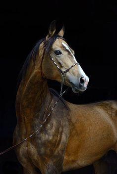 Akhal teke stallion, Jemchug. photo: Artur Baboev, the supreme photographer of the breed.