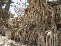 Banyon tree in Ethiopia