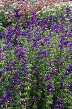 Annuals that grow great w/Roses:  Salvia Annual Clary 'Blue' (Salvia viridis)  Grow this striking salvia for its eye-catching papery blooms that look fantastic with white, pink or other light-toned roses. Plants reach 18 to 24 inches tall, the right height for complementing rose blooms. Deer dislike this beauty, so it's a good choice for creating a deer-resistant buffer around roses.