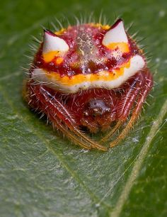 This is a real spider! WTF! Two Horned Spider Poecilopachys australasia...don't like spiders but that is crazy looking..