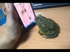 Bullfrog Playing Virtual Ant Game On Phone Gets Hungry - Super funny surprise at the end! :)